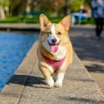 pet shop leblon: cão da raça corgi