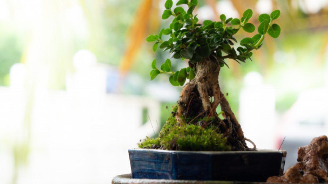 bonsai feng shui